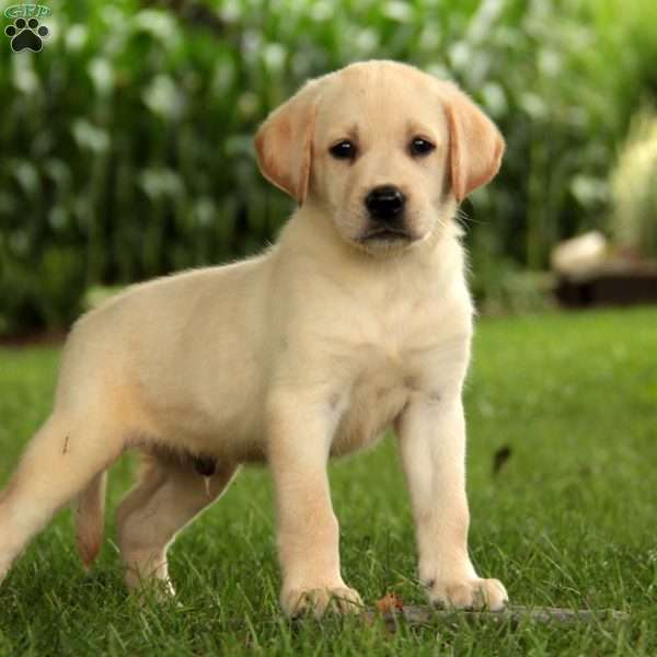 Crew, Labrador Retriever-Yellow Puppy
