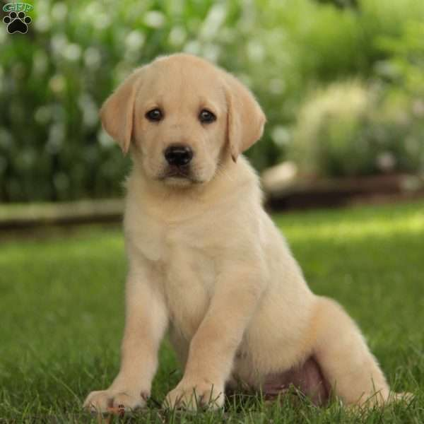 Crispo, Labrador Retriever - Yellow Puppy