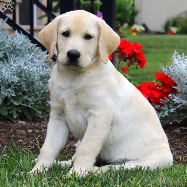 Dash, Labrador Retriever-Yellow Puppy