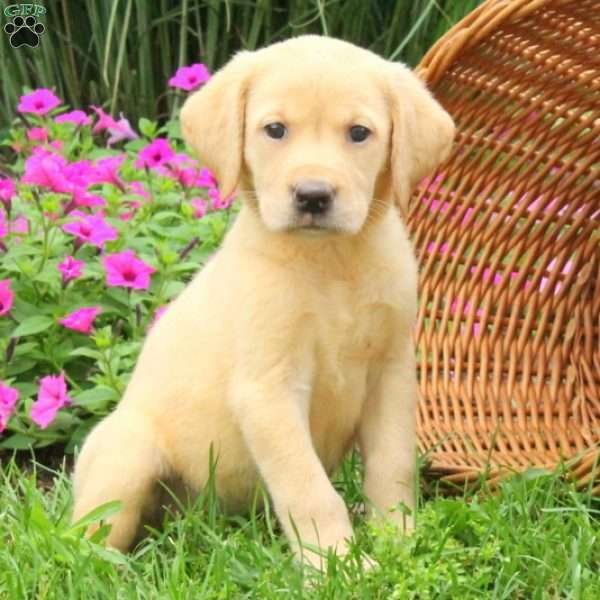 Elsie, Labrador Retriever-Yellow Puppy