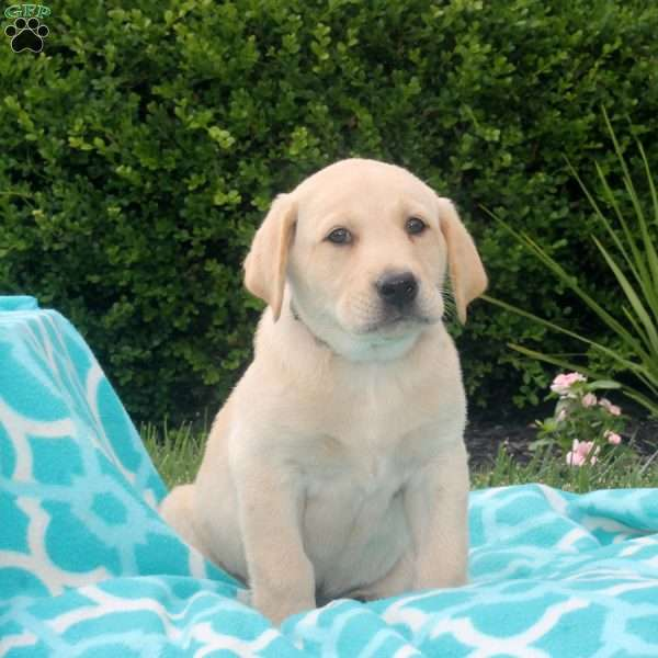 Henry, Labrador Retriever-Yellow Puppy
