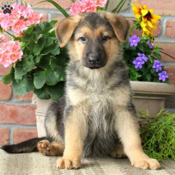 Jansen, German Shepherd Puppy