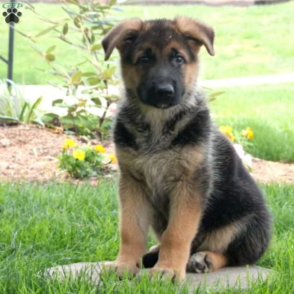Jazz, German Shepherd Puppy