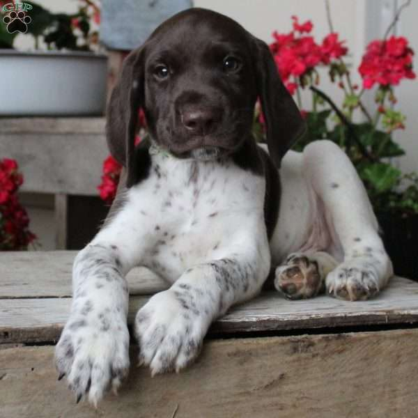 Kolby, German Shorthaired Pointer Puppy