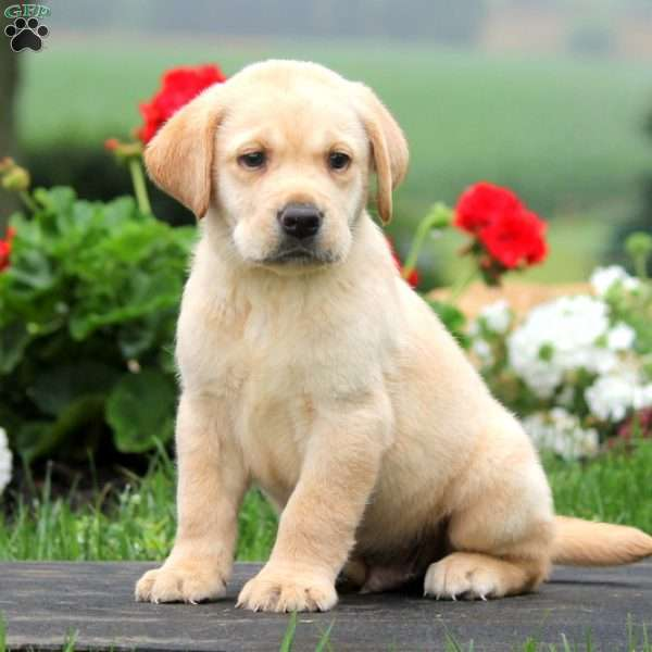 Kurt, Labrador Retriever-Yellow Puppy