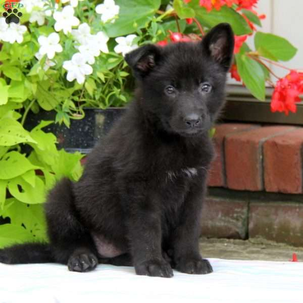 Lucky, German Shepherd Puppy