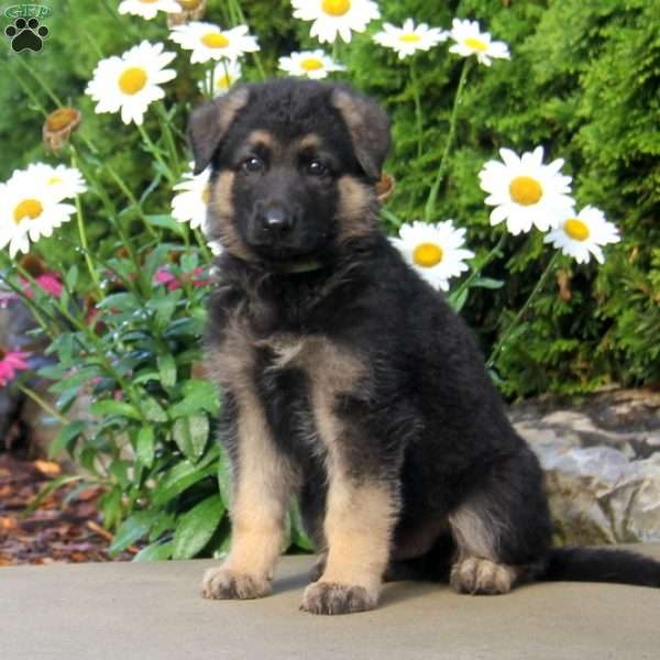 Malachi, German Shepherd Puppy