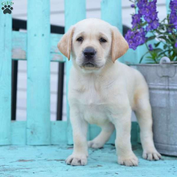 Marco, Labrador Retriever-Yellow Puppy