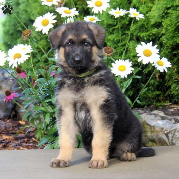 Miriam, German Shepherd Puppy