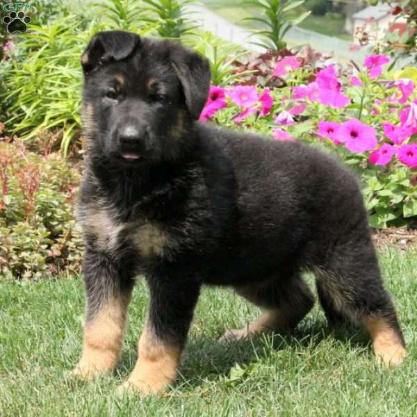 Rover, German Shepherd Puppy