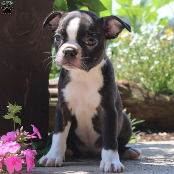 Roxie, Boston Terrier Puppy
