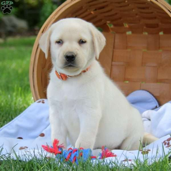 Teddy, Labrador Retriever-Yellow Puppy