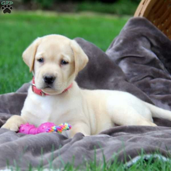 Teresa, Labrador Retriever - Yellow Puppy