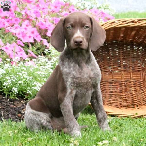 Theo, German Shorthaired Pointer Puppy