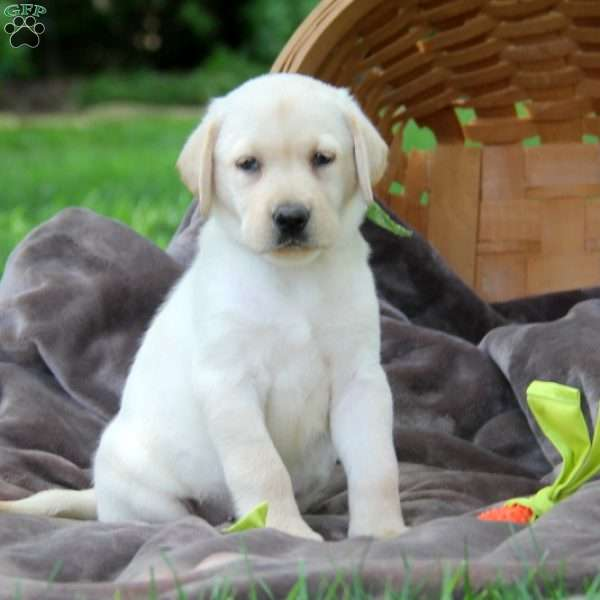 Tillie, Labrador Retriever - Yellow Puppy