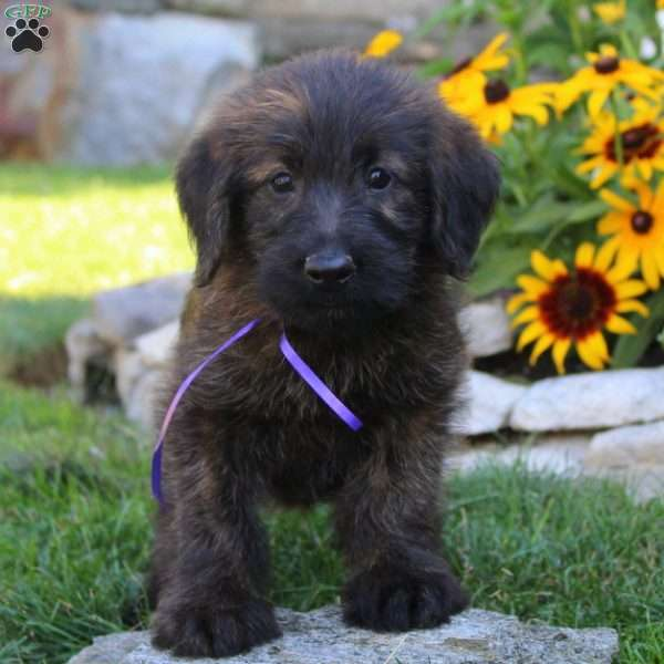 Timmy-Miniature - Shepadoodle Puppy For Sale in Pennsylvania