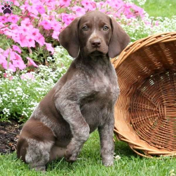 Tirzah, German Shorthaired Pointer Puppy