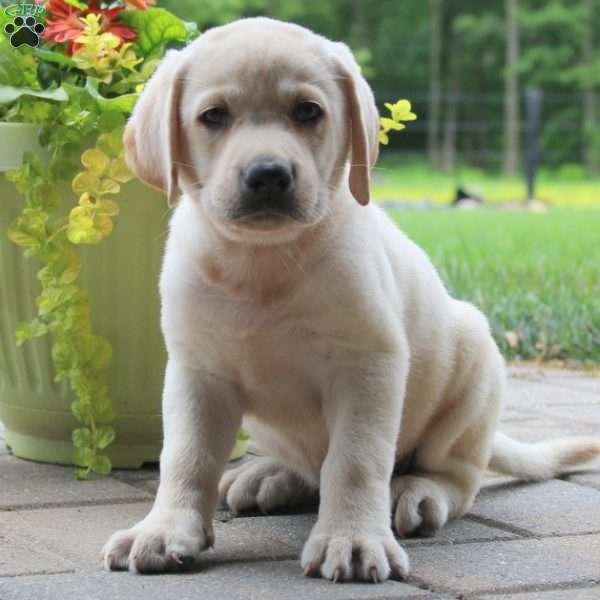 Tommie Lee, Labrador Retriever - Yellow Puppy