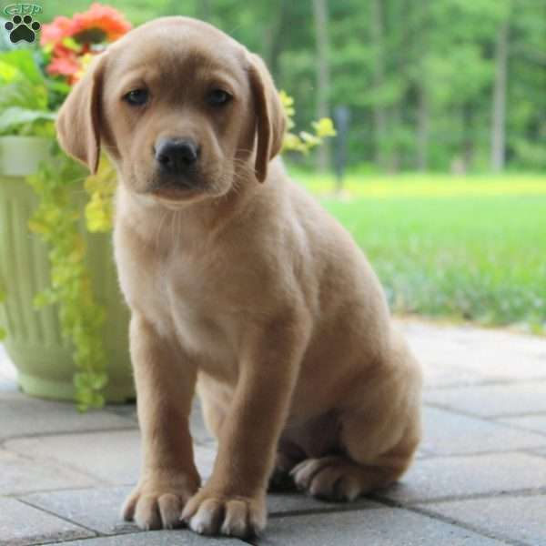 Trisha Love, Labrador Retriever-Yellow Puppy