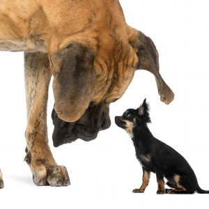 big responsibilities with owning little dogs
