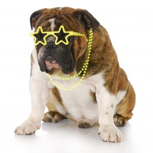 famous youtube dogs - english bulldog in star-shaped glasses