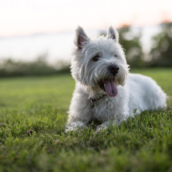 Westie Mix Puppies For Sale Westie Mix Breed Info Greenfield