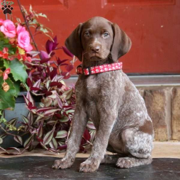 Apricot, German Shorthaired Pointer Puppy
