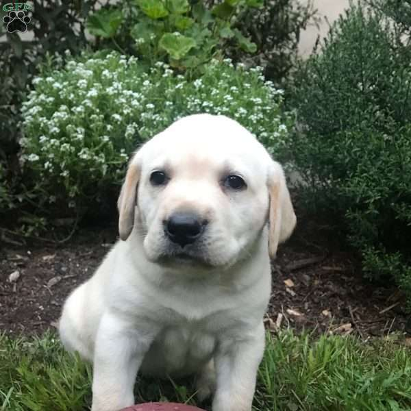 Baron, Labrador Retriever-Yellow Puppy