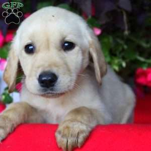 Betsy, Labrador Retriever-Yellow Puppy