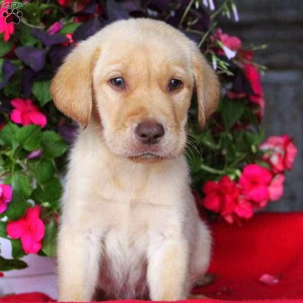 Brian, Labrador Retriever-Yellow Puppy