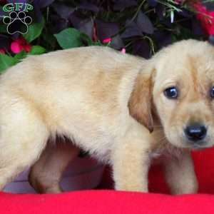 Briel, Labrador Retriever-Yellow Puppy