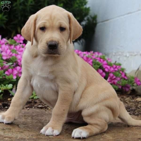 Buck, Labrador Retriever-Yellow Puppy