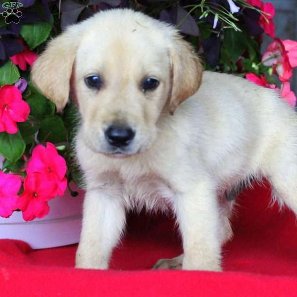 Buddy, Labrador Retriever-Yellow Puppy
