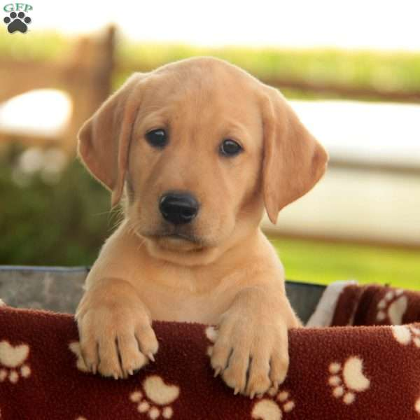 Chase, Labrador Retriever - Yellow Puppy