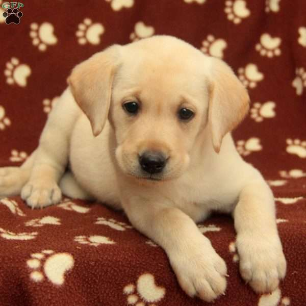 Claire, Labrador Retriever-Yellow Puppy