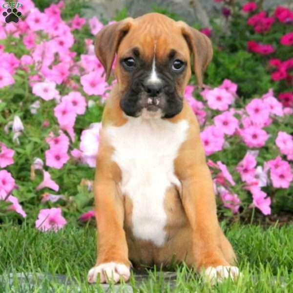 Cody, Boxer Puppy