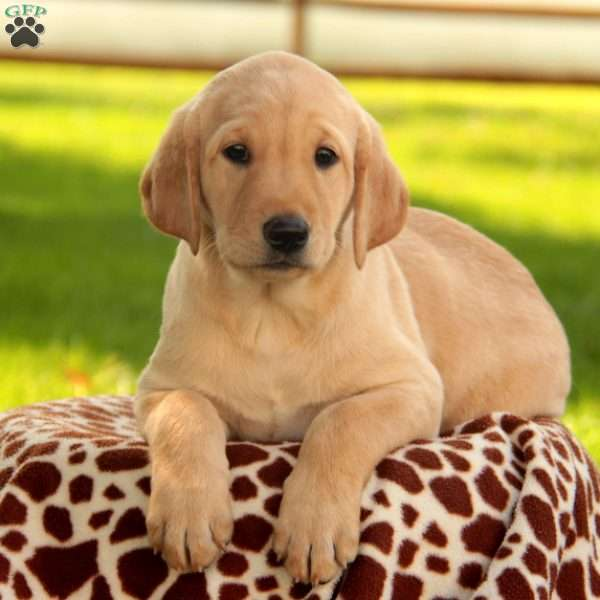 Cora, Labrador Retriever-Yellow Puppy