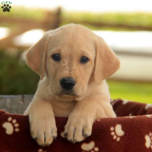 Corbie, Labrador Retriever-Yellow Puppy