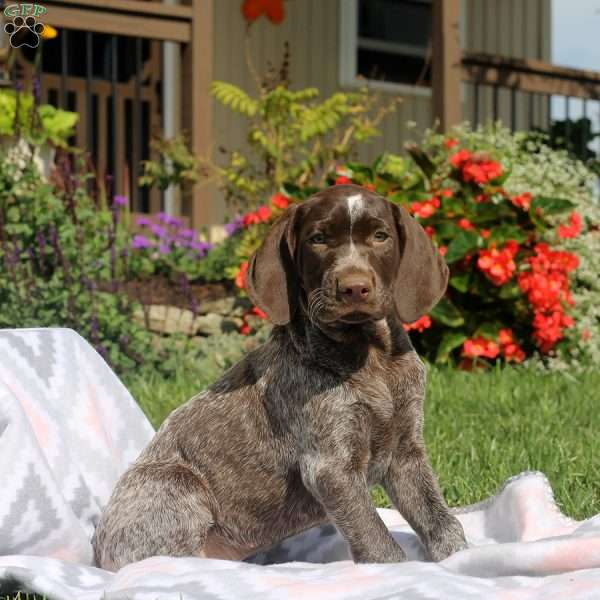 Daisy, German Shorthaired Pointer Puppy