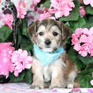 yorkie chon for sale yorkie chon puppies for sale greenfield puppies 1098