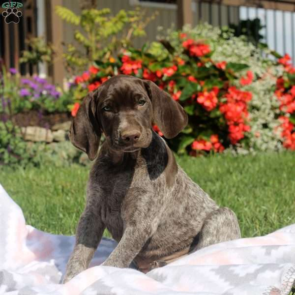 Darla, German Shorthaired Pointer Puppy