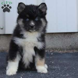 Pomsky Puppies For Sale | Pomsky Breeders | Greenfield Puppies