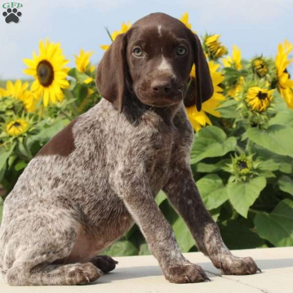 Gigi, German Shorthaired Pointer Puppy