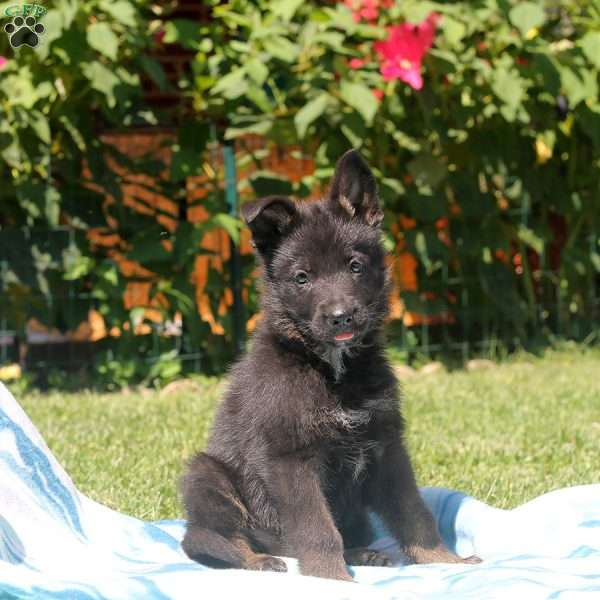 Glen, German Shepherd Puppy