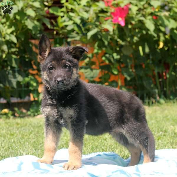 Grady, German Shepherd Puppy