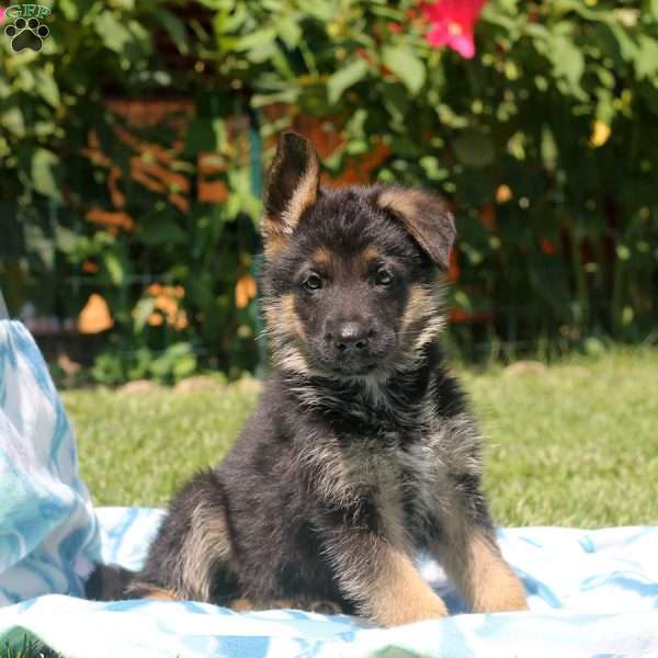Gunther, German Shepherd Puppy