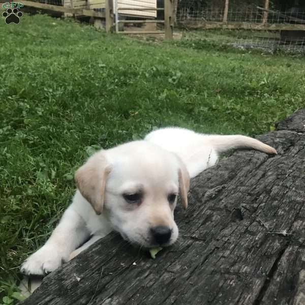 Honey Babe, Labrador Retriever - Yellow Puppy