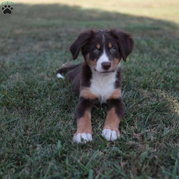 Darlis, Bernese Mountain Dog Mix Puppy