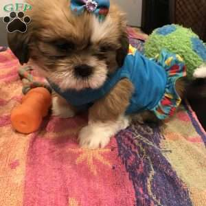 shih tzu puppies for sale in philadelphia shih tzu puppies for sale in de md ny nj philly dc and 1726