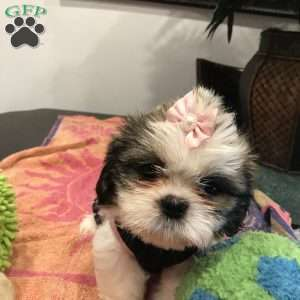 shih tzu puppies for sale in philadelphia shih tzu puppies for sale in de md ny nj philly dc and 8562